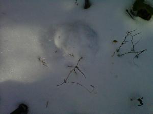 Fresh mountain lion track.
