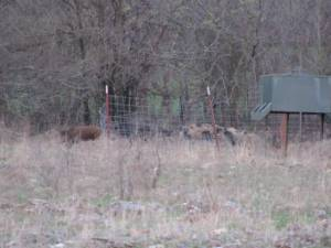 Hogs coming around the feeder