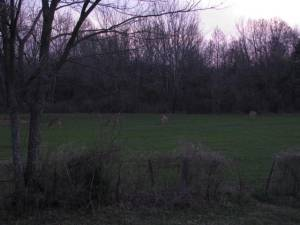 White tail deer feeding in front of the stand