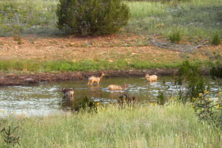 Mule deer in pond