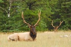 Elk-920872