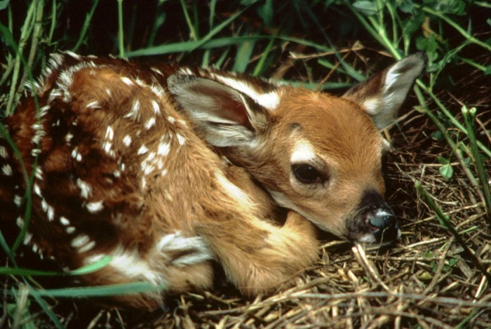 Deer-fawn-do-not-touch-Colorado-Parks-and-wildlife-photo-397f160e-956c-4910-a4a0-7b696f0fe64f