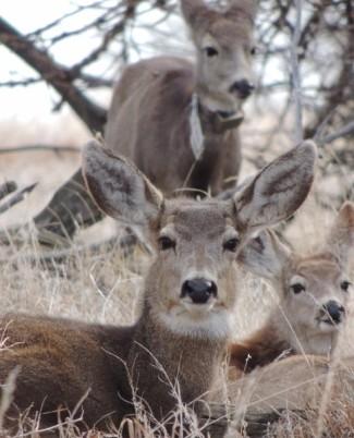 Mule-Deer-CPW-6652881c-c4bf-4c14-bc77-e34119fcc795