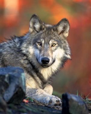 Wolf-CPW-bbab9ef2-b604-4172-9e5c-900435d3b110