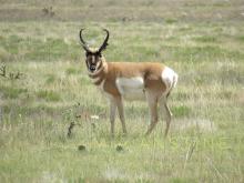 Antelope-buck-pronghorn-Mia-Anstine-photo