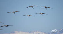 Sandhill-crane-migration-flight-Mia-Anstine-photo