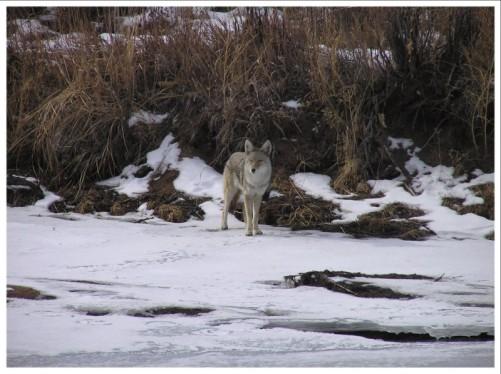 cpw-coyote-territory-7b0f031d-f323-4775-a3ed-40344637af15