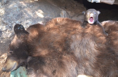 black-bear-study-cpw-durango-a16fb731-cb5a-451b-854f-99737654c659