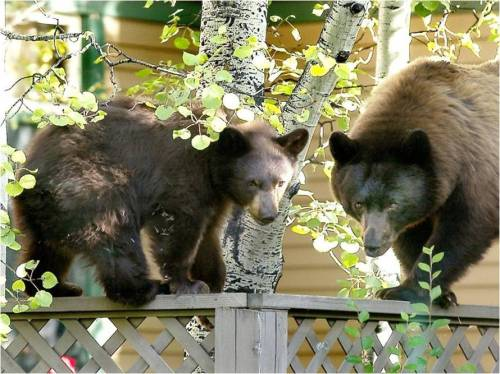 Bear-Aware-CPW-8a1acbc2-118e-4b91-b395-73aa1a478761