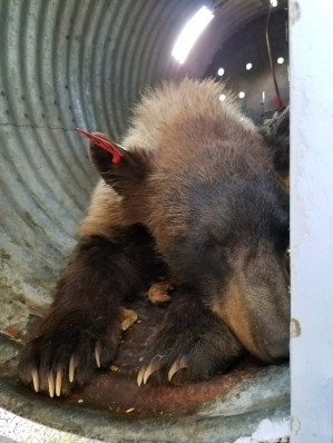 bear-in-trap-cpw-93cfadc2-3ade-4127-8b95-6308c3afc1db